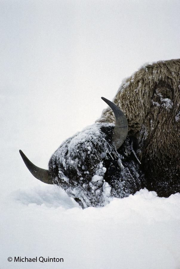 10-156-2_bison-b