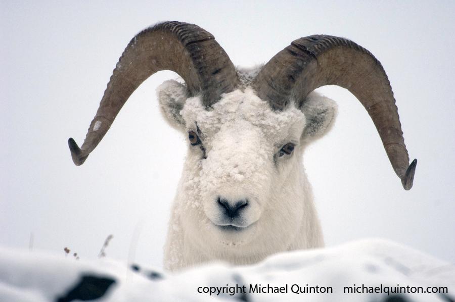 dall sheep (Ovis dalli) Yukon Territory, Canada