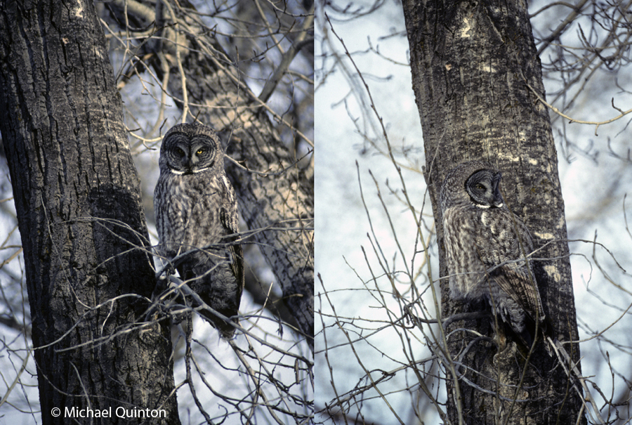 great gray owl-3