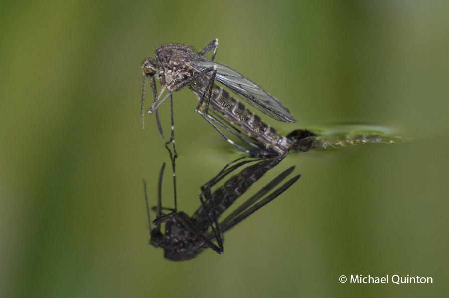 mosquito-13-25