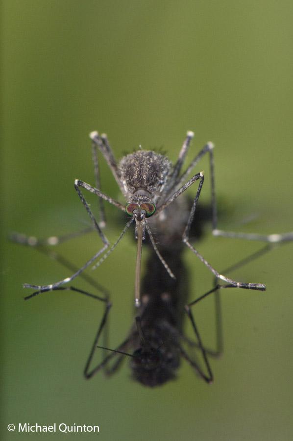 mosquito-13-30