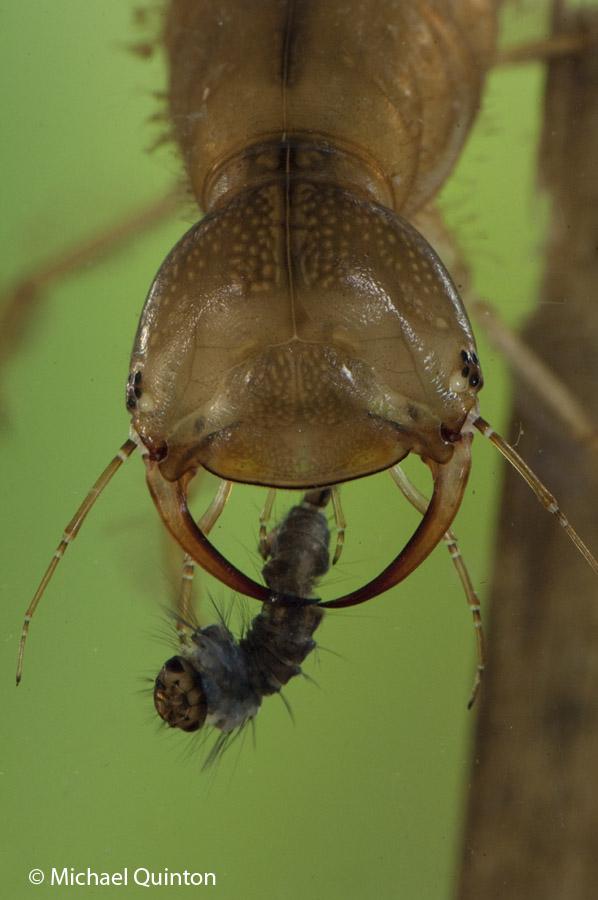 pred-div-beetle-13-11