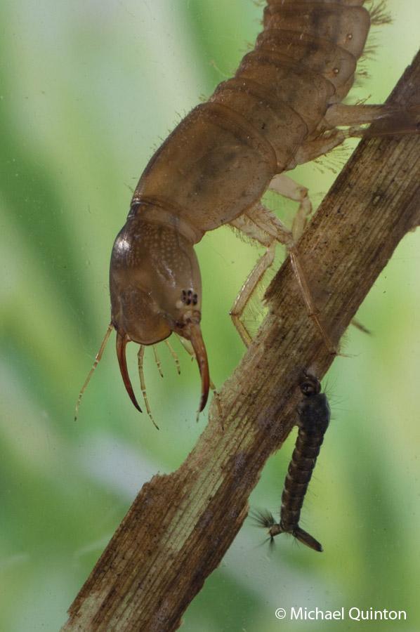 pred-div-beetle-13-9