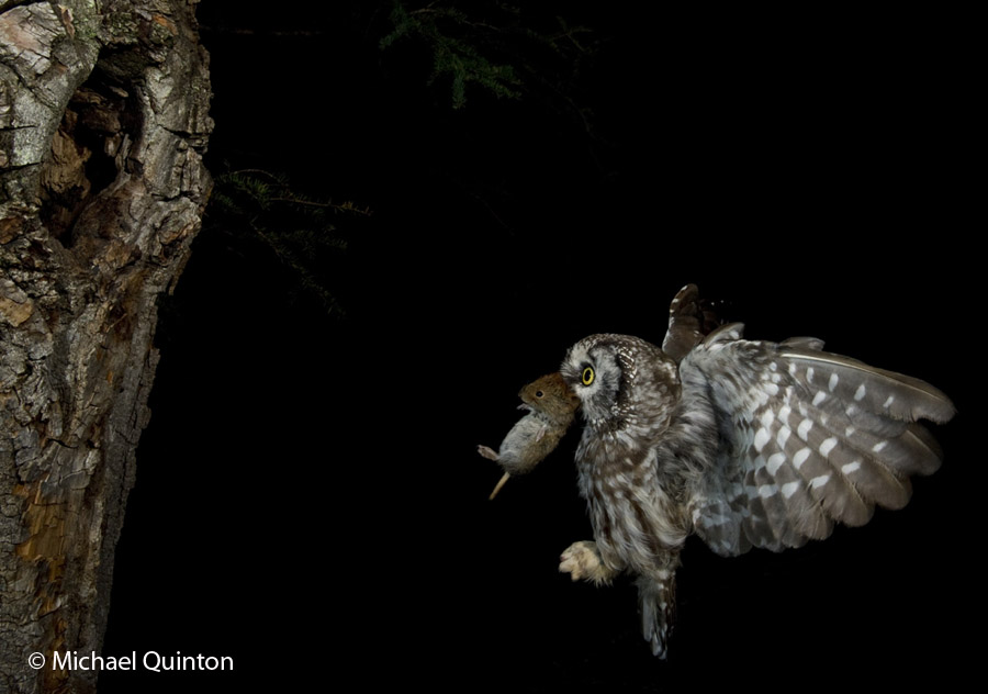 Image of: Hunting Adult Male Is Night Hunter And His Prey Consisting Of Small Birds And Mammals Such As This Redbacked Vole Are Located By Sight And Sound Michael Quinton Photography The Nocturnal Boreal Owl Journal Of Wildlife Photographer
