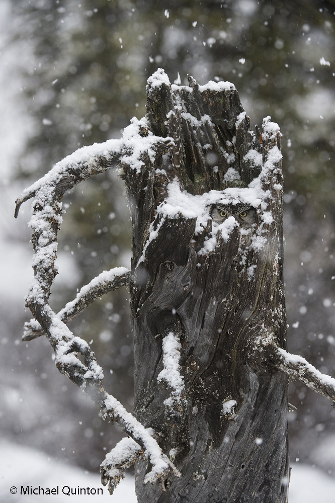 northern hawk owl sits hidden on its nest, Alaska
