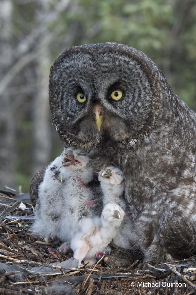 grey owl owlet