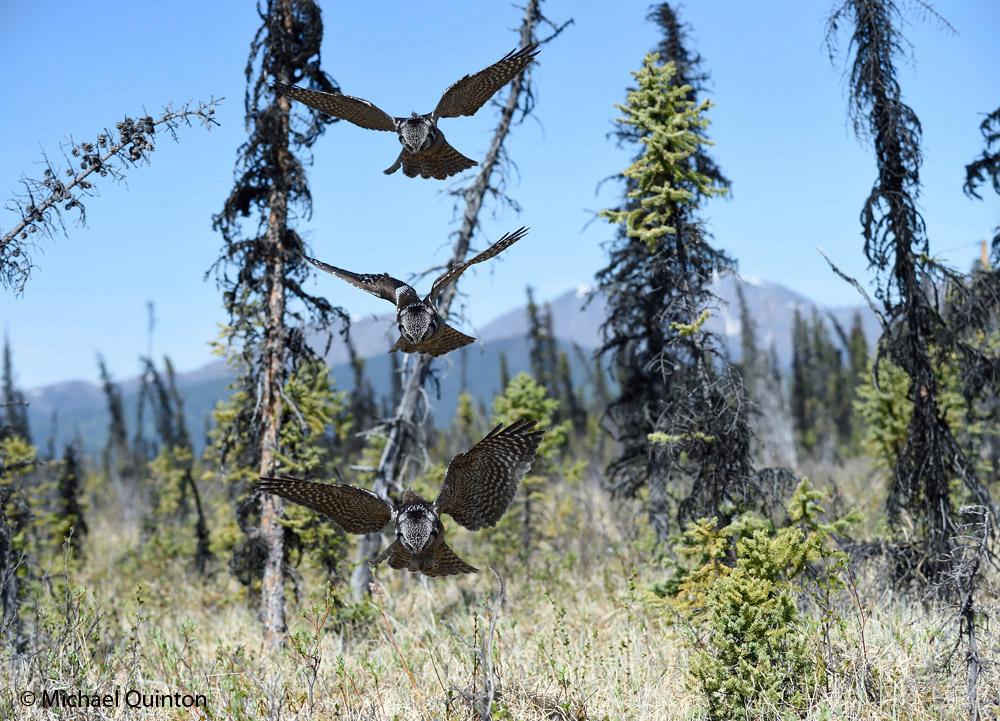 hawk owlo hunting
